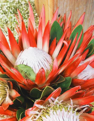 Protea in feuerrot